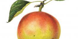 La Pomme dans tous ses états au Moyen-Age BADEN