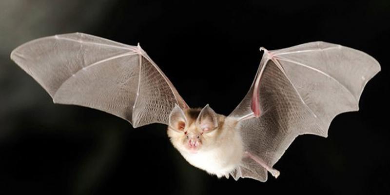 Vie nocturne des chauves-souris dans le Grand Traouïéro