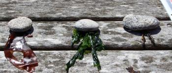 Découvrir et goûter les algues Plouguerneau