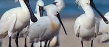Colloque international sur les oiseaux migrateurs Loctudy