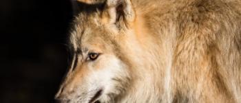 Spectacle conté en présence des loups au Parc Botanique de Haute-Bretagne Le Châtellier