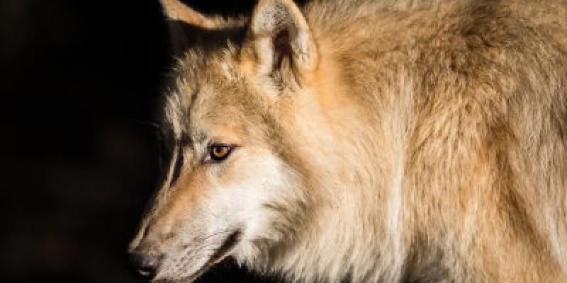 Spectacle conté en présence des loups au Parc Botanique de Haute-Bretagne