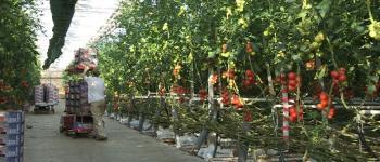 Nos légumes de terroir : visite du marché au cadran et d\une exploitation légumière Paimpol
